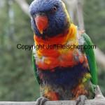 Jeff Fleischer photo of rainbow lorikeet
