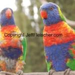 Jeff Fleischer photo of rainbow lorikeets