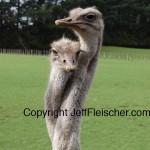 Jeff Fleischer photo of ostriches with entwined necks