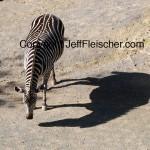 Pregnant Zebra by Jeff Fleischer 2008